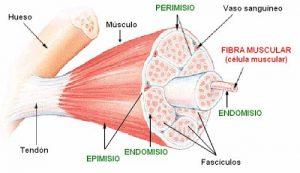 Metabolismo de los músculos
