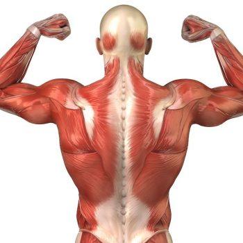 Anatomía músculos Archivos - Paloma Sala
