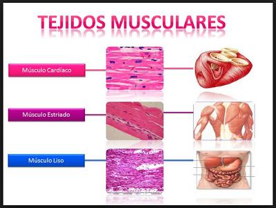 Fisiología del ejercicio: funciones y propiedades del sistema muscular