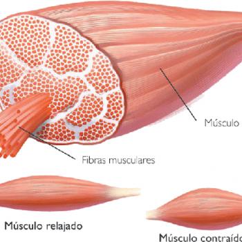 Fisiologia-del-ejercicio-funciones-y-propiedades-del-sistema-muscular